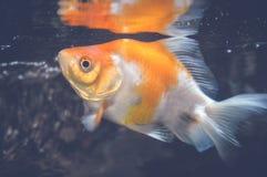 Orange Fische Lizenzfreie Stockfotos