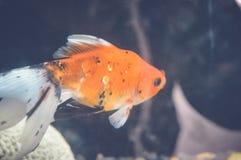 Orange Fische Lizenzfreies Stockbild