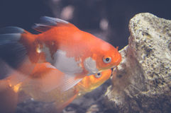 Orange Fische Lizenzfreies Stockfoto