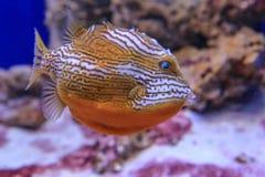 Orange Fischschwimmen im Aquarium auf dem Hintergrund der Koralle lizenzfreies stockfoto