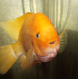 Orange Fish Royalty Free Stock Image