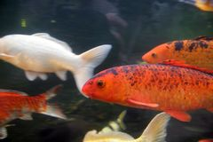 Orange fish. Fish moving about their everyday buisness Stock Photography