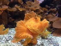 Orange fish. Aquarium Dallas orange fish Royalty Free Stock Images