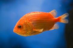 Orange fish. On blue background Stock Images