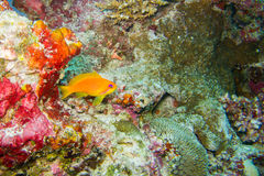 Orange fish at coral reef Stock Image