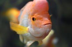 Orange fish Stock Images