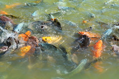 Orange Fish eating. In the farm Royalty Free Stock Image