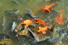 Orange Fish eating. In the farm Royalty Free Stock Images
