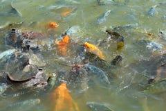 Orange Fish eating. In the farm Royalty Free Stock Photo
