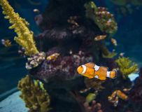 Orange Fish Royalty Free Stock Photos