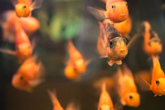 Orange fish Stock Photography
