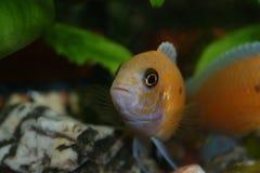 Orange fish. Swimming in an aquarium Stock Photography