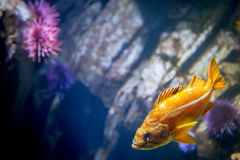 Orange fish swimming with purple sea urchin in front of rocks. Orange fish with white stripes swimming with purple sea urchin in front of rocks Stock Photos
