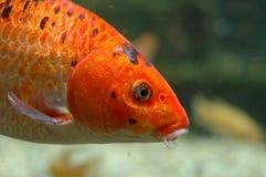 Orange fish underwater Stock Photo