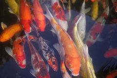 Orange fish in water Stock Photo