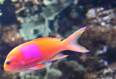 Orange Fish With Pink Spot Stock Photography