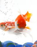 Orange fishes Stock Photos