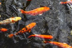 Orange fishes swimming top view royalty free stock images
