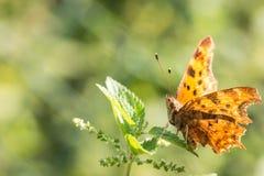 Orange fjäril överst av en sticka nässla Arkivbild