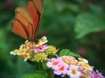 Orange fjäril Royaltyfri Fotografi