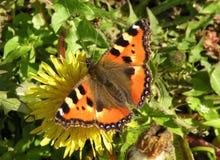 Orange fjäril Arkivfoton