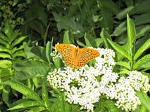 Orange fjäril Royaltyfria Foton