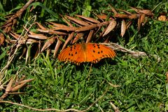 Orange fjäril i gården för gräs baktill arkivfoto
