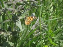 Orange fjäril i grönt gräs Royaltyfria Bilder
