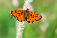 Orange fjäril med öppna vingar royaltyfri bild