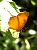 Orange fjäril med grön bakgrund Royaltyfria Bilder
