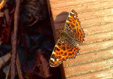 Orange fjäril med svarta fläckar arkivbild