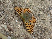 Orange fjäril med svarta prickar Royaltyfri Bild