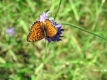 Orange fjäril på den violetta blomman, Litauen Royaltyfri Foto