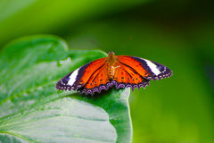 Orange fjäril på det gröna bladet Royaltyfri Fotografi
