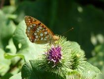 Orange fjäril på en rosa växt Fotografering för Bildbyråer