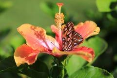 Orange fjäril på hibiskusblomman fotografering för bildbyråer