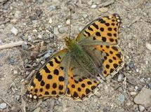 Orange fjäril på jordningen Arkivfoto