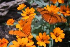 orange fjärilar Royaltyfri Fotografi