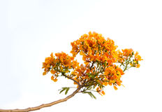 Orange flamboyant blomma eller isolerad Delonixregia (Bojer) royaltyfria bilder