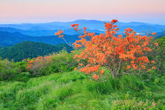 Orange Flame Azalea, Rhododendron Calendulaceum. Blazing orange flame azalea bush, rhododendron calendulaceum, along the Appalachian Trail on Roan mountain which Royalty Free Stock Image