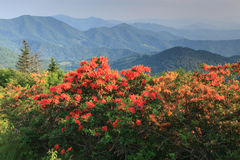 Flame Azaleas Appalachian Blue Ridge Mountains. Brightly colored flame azaleas line the Appalachian Trail overlooking the Blue Ridge Mountains along the Stock Photography