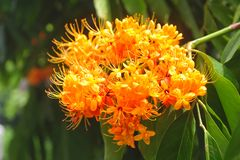Orange Flame flower, Stock Image
