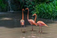 Orange flamingo Fotografering för Bildbyråer