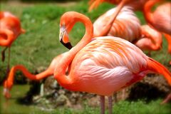 Orange Flamingo Stock Photo