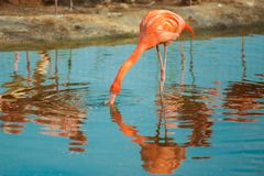 Orange flamingo in the light blue water. Wildlife of tropical exotic birds. Reflection in the water.  royalty free stock photo