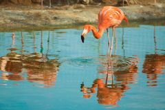 Orange flamingo in the light blue water. Wildlife of tropical exotic birds. Reflection in the water.  royalty free stock photography