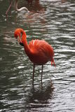 Orange flamingo. Is standing in the lake Stock Image