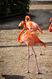 Orange flamingos Royalty Free Stock Image