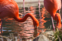 Orange flamingos reflected in a pond Stock Images