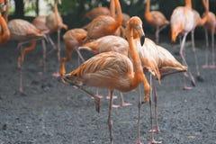 Orange flamingos standing next to a pond royalty free stock photo